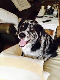 afghan hound collie mix the best of both worlds 5 most popular dog breed hybrids