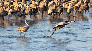crane trust nature u0026 visitor center