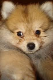 fox like dog images reverse search