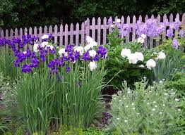 Irises How To Plant Grow by Iris Companion Plants Gardener U0027s Guide On Companion Plants For