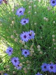view picture of love plant cupid u0027s dart catananche caerulea at