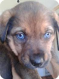 australian shepherd lab mix puppy litter of 8 pups 8 weeks old adopted puppy lima pa