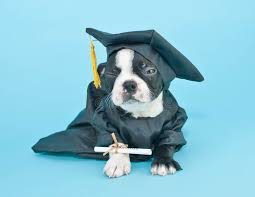 dog graduation cap and gown mad graduation puppy stock photo image of puppy expression