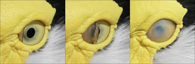Anatomy Of A Cats Eye Nictitating Membrane Wikipedia