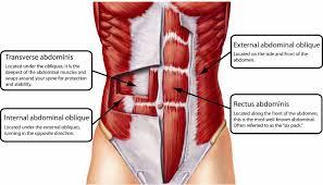Female Abdominal Anatomy Pictures Abdominal Muscle Anatomy Female Abdominal Muscle Images Stock