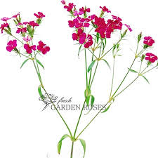 Bulk Wedding Flowers Dark Pink Dianthus Bulk Wedding Flowers