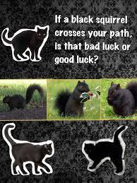 spirit halloween superstition springs superstition black cat black squirrel good luck bad luck black cat