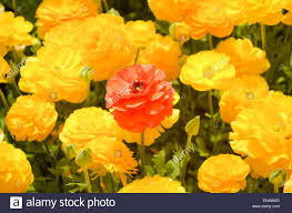 ranunculus flower a field of cultivated buttercup ranunculus flowers for export to