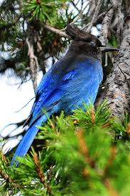 19 best birds western bluejay stellar jay images on pinterest