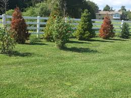 evergreen trees kent island queen anne county md ask an expert
