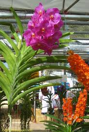 vanda orchids 261 best vanda images on orchid flowers flower