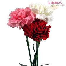 wholesale carnations wholesale valentines day carnation pack white pink blooms