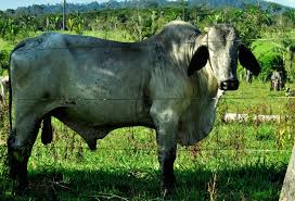 sustainable cattle ranching in the brazilian amazon global