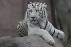 tigers facts for adults pictures in depth information