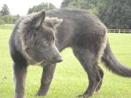 belgian shepherd wolf mix 16 best blue bay shepherd images on pinterest dogs german