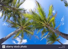 coconut palm trees upward view in miami florida stock