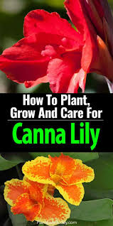 canna lilies canna how to plant grow and care for the canna lilies
