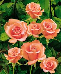 best 25 beautiful roses ideas on pinterest pretty roses roses