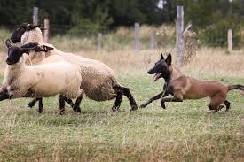 belgian sheepdog for sale uk malinger kennels