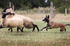 belgian shepherd breeders malinger kennels