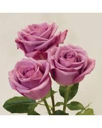 lavender roses 75 stem lavender roses