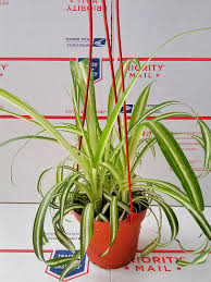 Spider Plant by Amazon Com Bonnie Curly Spider Plant Easy Cleans The Air 4