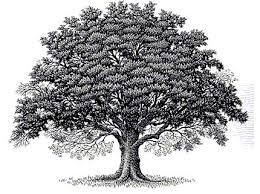 best 25 oak tree ideas on tree roots