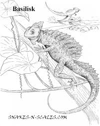 desert lizard coloring page basilisk coloring page snakes n scales snakes n scales