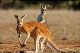 imagenes animales australia national animal of australia einfon
