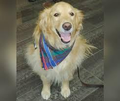 Comfort Retrievers Gracie The Comfort Dog Heading To Help Orlando Shooting Survivors