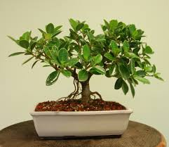 the advantageous by put indoor bonsai tree ficus tree yacca in