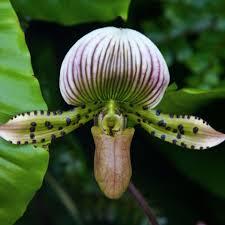Rainforest Passion Flower - species profile orchid orchidaceae rainforest alliance