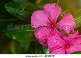 Vinca Flowers Pink Vinca Flowers With Droplets Of Water Wrought Iron Fence And