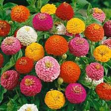 Zinnia Flowers Zinnia Mix Shorter Varieties Planted In Flower Beds Boarders
