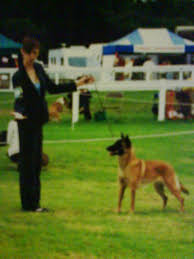 belgian shepherd health problems calm dog training canine affinity leads to miracles dog showing