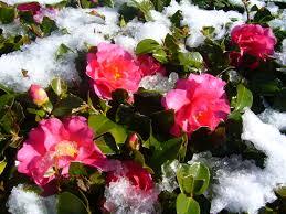 winter flowers the japans