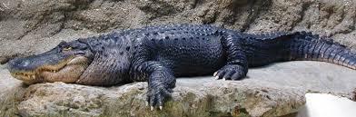 alligator claws american alligator philadelphia zoo