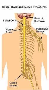 Human Vertebral Column Anatomy Nerve Structures Of The Spine