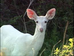 New York wild animals images White deer seneca county in western new york state black jpg