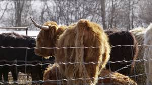 red haired highland cow in barnyard 4k stock video footage