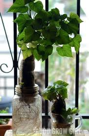 Container Gardening Potatoes - 40 best growing sweet potato vines images on pinterest sweet