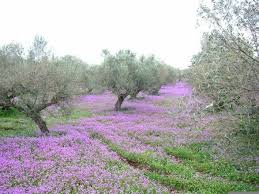 olive cultivation