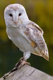 North American Barn Owl Barn Owls Of The Niagara Region