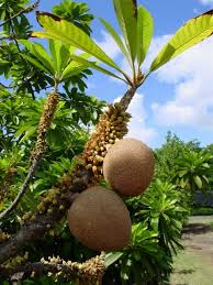 Tropical Fruit Tree Nursery - 979 best exotic fruit images on pinterest exotic fruit fruit