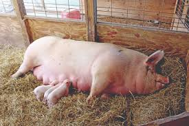 How To Build A Pig Barn A Winter Farrowing