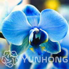 blue orchids for sale on sale birds phalaenopsis orchid seeds flower seeds