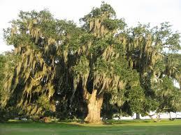 22 best my favorite tree images on live oak trees oak