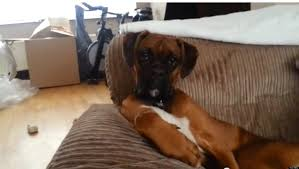 Funny Boxer Dog Memes - boxer dog is just chilling video huffpost