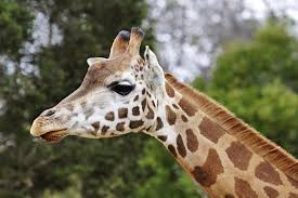 pictures picture of a giraffe 84 for your for kids with picture of