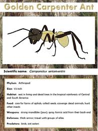 golden carpenter ant facts